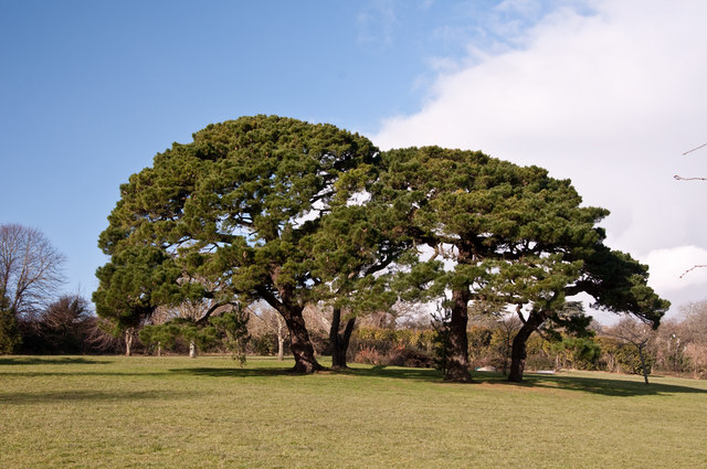 A stand of pines - Pounds Park, Plymouth