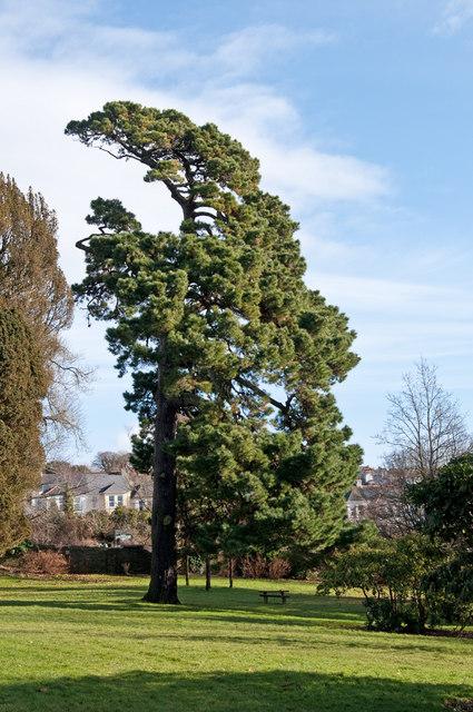 Cedar tree. Pound's Park - Plymouth