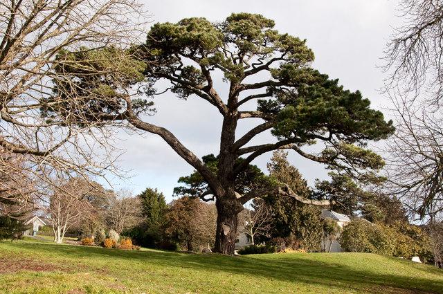 Cedar Tree, Pound's Park - Plymouth