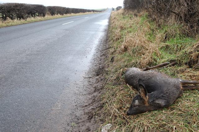Dead deer beside the B1407