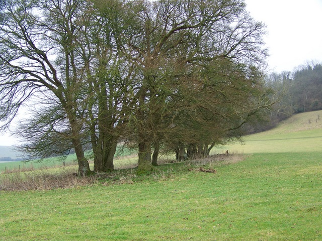 Beech trees near Wood House Hanging