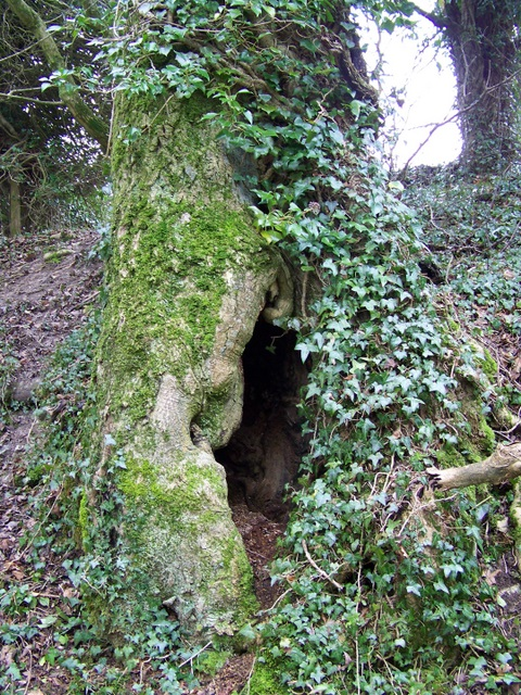 Hollow tree at Wood House Hanging