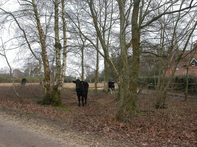 Battramsley, cattle