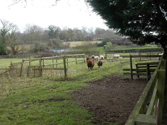Battramsley, sheep
