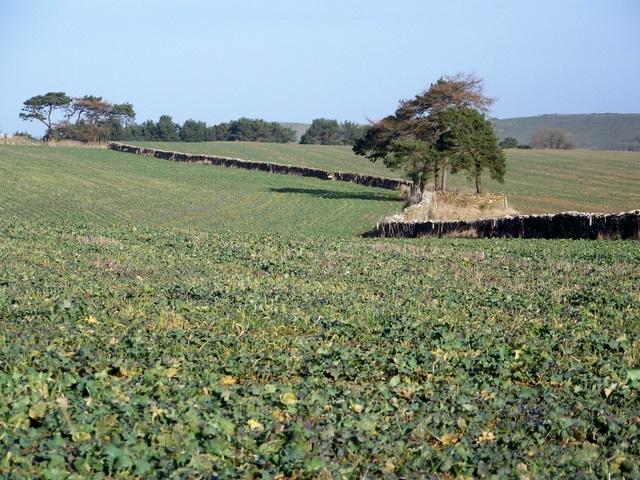 Root crops near Sandford Orcas