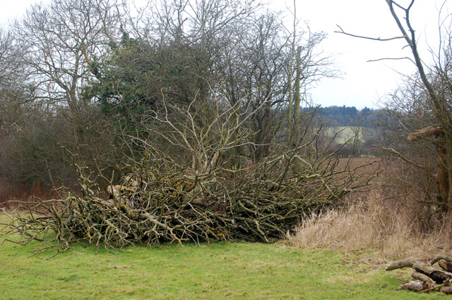 Felled tree in a hedgerow south of Flecknoe