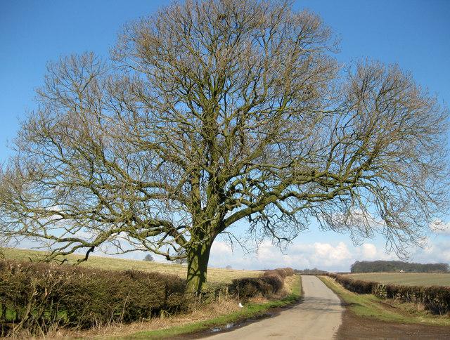 Ash tree, Kelstern