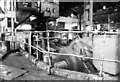 NX9827 : BSC Moss Bay works, steam rolling mill engine. by Chris Allen