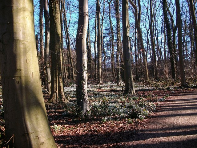 Snowdrops in Burlingham woods