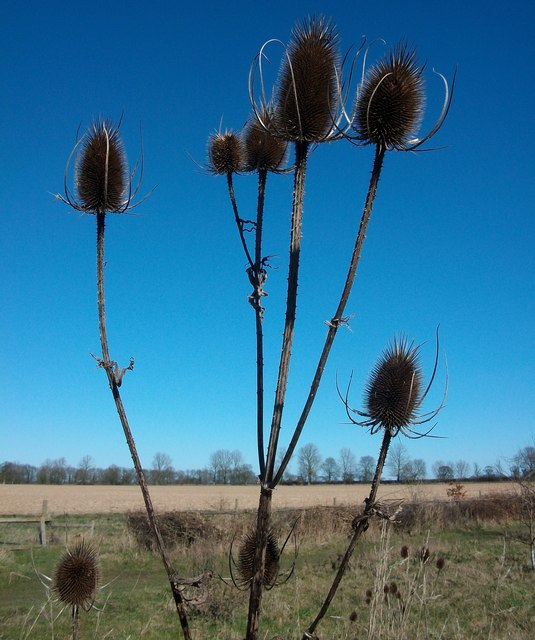Teasels on the edge of Burlingham Woods