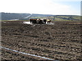 TQ3009 : Cattle happy feeding knee deep in liquid mud on Ewe Bottom Hill by Dave Spicer