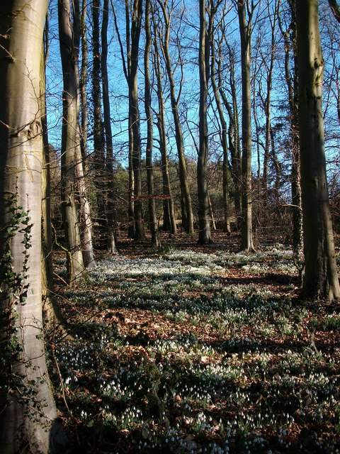 Woodland scene of snow drops Burlingham Woods