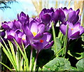 SO6424 : Purple crocuses, Crocus sativus hybrid by Jonathan Billinger
