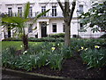 TQ2978 : Daffodils in Bessborough Gardens Pimlico by PAUL FARMER