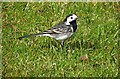 H4472 : Wagtail, Omagh by Kenneth  Allen