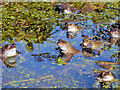 SO7846 : Frogs in our pond - 2 by Trevor Rickard