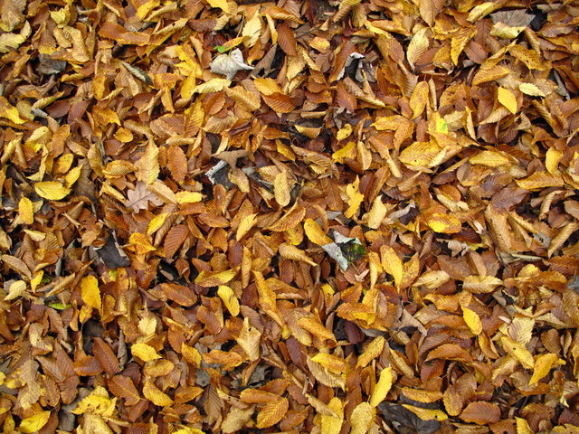 Autumn leaves in Woolley wood, Wincobank