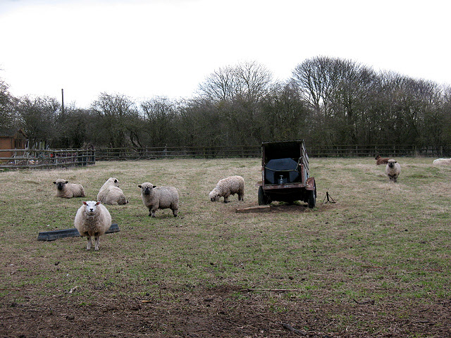 Sheep near Beckley (2)