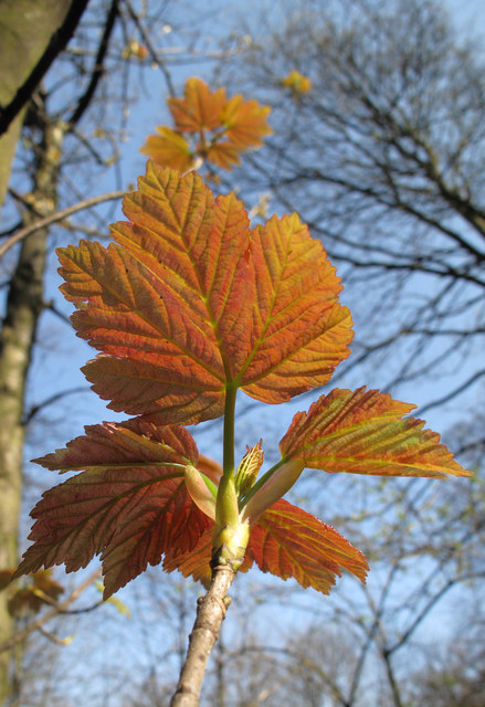 New leaf of Sycamore