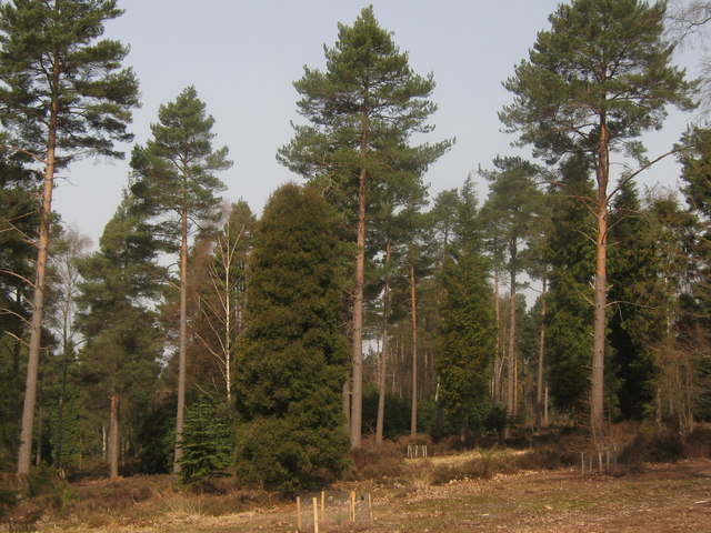 Conifer trees in National Pinetum