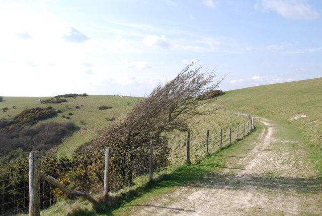 Windswept bush by The South Downs Way, Windover Hill