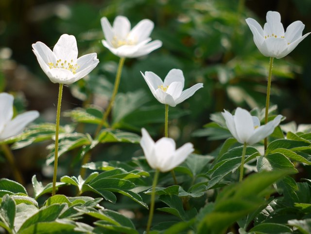wood anemones anemone nemorosa andrew curtis cc by sa