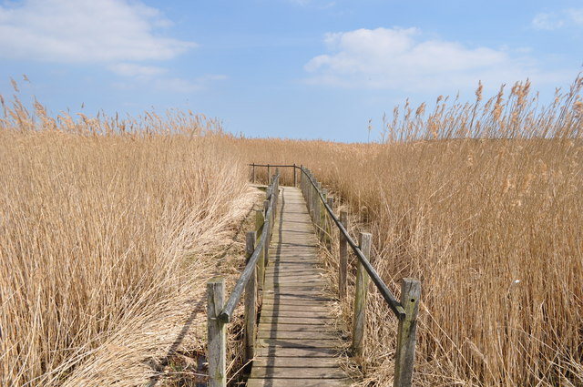 Board Walk among the Reeds