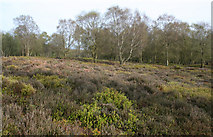 SJ4953 : Lowland heath on Bickerton Hill by Espresso Addict