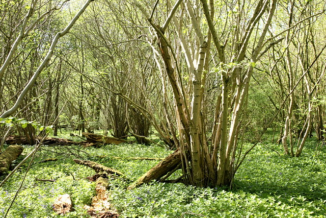 Mature Coppice, Hayley Wood