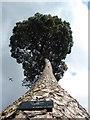 TQ1876 : One tall tree : Week 18