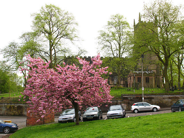 Cherry blossom, Well Bank