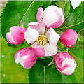 SO6424 : Appleblossom 2010 by Jonathan Billinger