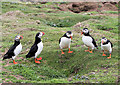 SM7208 : Puffin parliament by Bob Jones