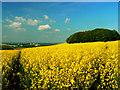 SU1274 : Oilseed rape crop, Hackpen Hill, Uffcott : Week 20