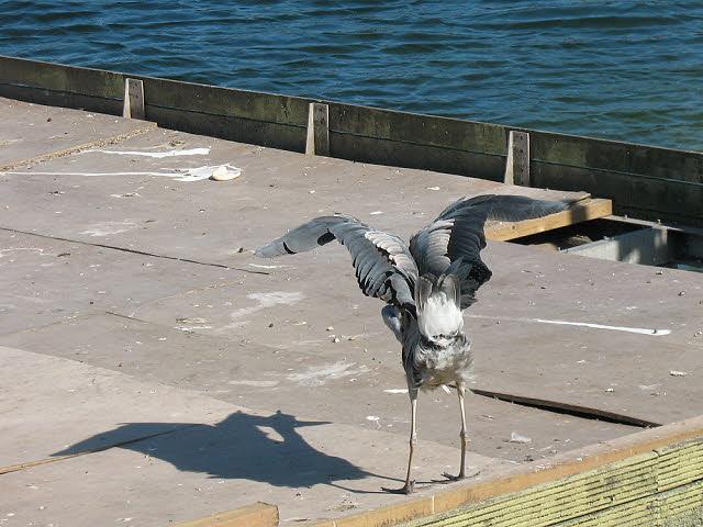 Heron spreading its wings
