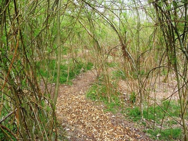 Willow maze at Caerau Uchaf