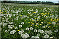 SP1055 : Field of dandelions : Week 21