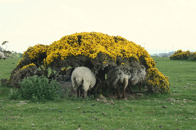Sheep-under-Furze, County Kildare