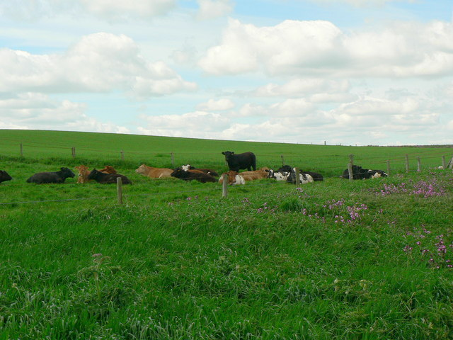 Cattle in a field by Nettle Trip, Bempton Cliffs