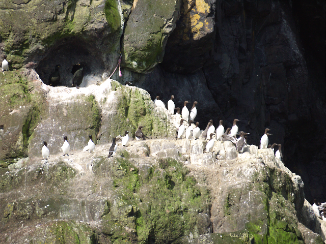Guillemots at The Gobbins