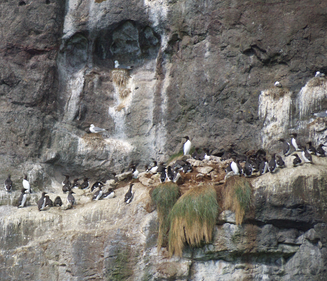 Guillemots and Kittiwakes at The Gobbins