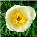 SO6424 : Paeonia lactiflora 'Jan Van Leeuwen' by Jonathan Billinger