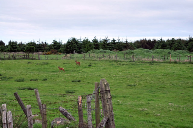 Deer at the forest edge near Crimond