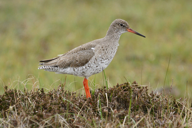 Redshank (Tringa totanus), Sma Waters, near Uyeasound
