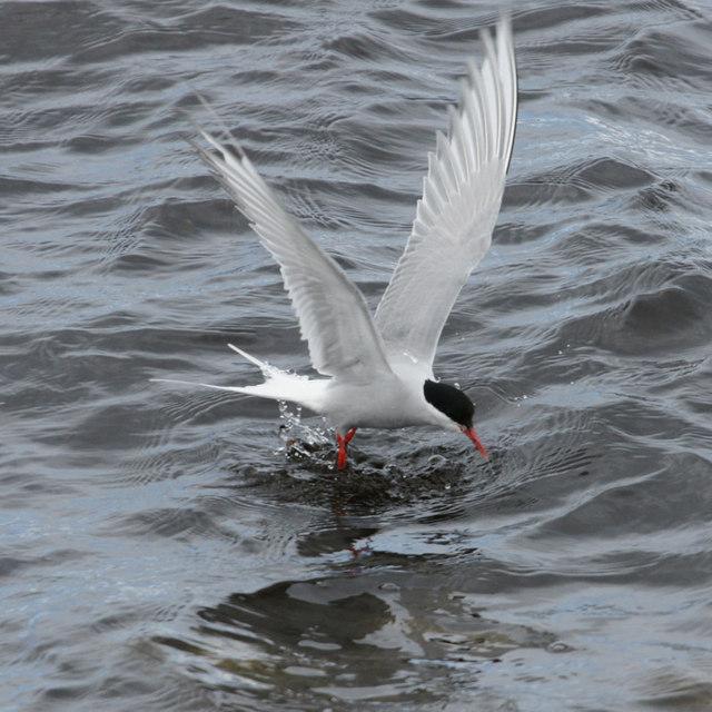 Arctic Tern (Sterna paradisea), Westing beach