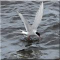 HP5605 : Arctic Tern (Sterna paradisea), Westing beach : Week 24