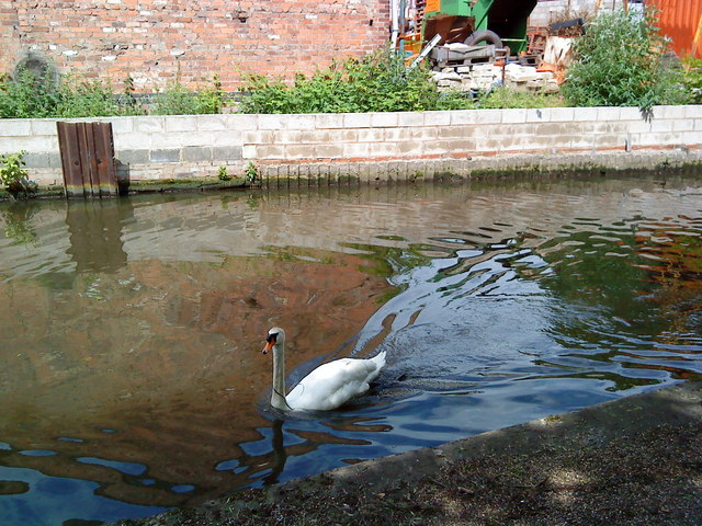 Swan on the Beeston Canal
