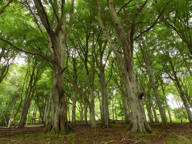 Beech Trees, Plora Wood