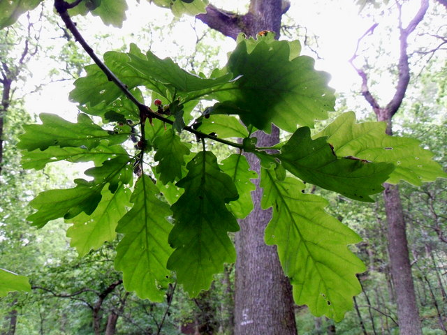 Oak Leaves, Plora Wood
