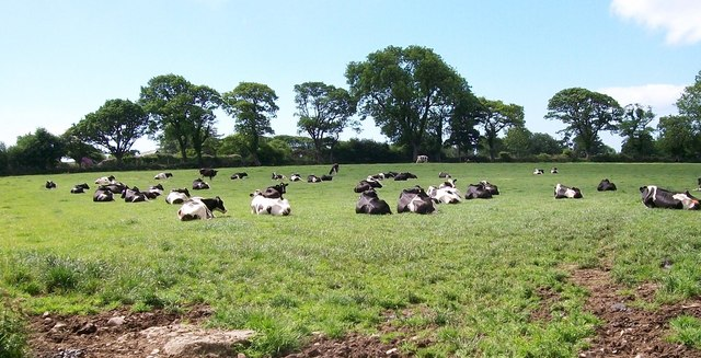 A Friesian Holstein herd of dairy cattle